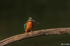 いつもの公園「魚漁る鳥」(2)