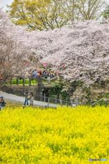 桜の樹の下で(埼玉県幸手市権現堂公園)(18)「水門坂」