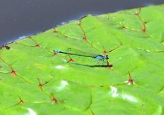 蜻蛉姿態 8-7 「青」