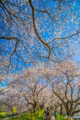 権現堂公園 2020 「天窓櫻」