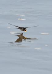 水面滑燕(2)