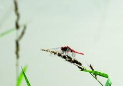 蜻蛉姿態 8-5 「赤」