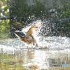 隣町の公園「カワセミ日記」(1)「水遊び」