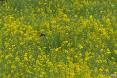 春燕の花(ツバメ)(5)