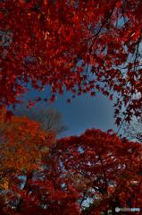 赤紅葉(東福寺)(4)