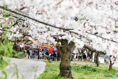 桜の樹の下で(埼玉県幸手市権現堂公園)(23)「タイラーメン」