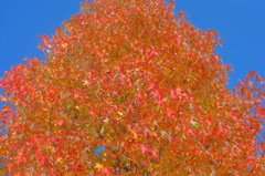 錦秋色晴天 色づく街角 4-4「赤華葉Ⅳ」