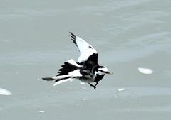 飛翔形 ハクセキレイ4-2 「乱飛」
