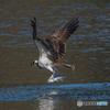 魚獲る鳥(ミサゴ)(1)