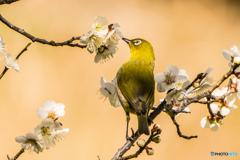 いつもの公園「黄金の春鳥」