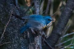 青い鳥をみつけました。(ルリビタキ)(3)