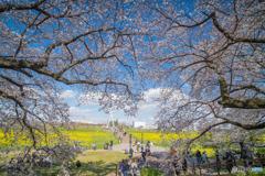 権現堂公園 2020 「菜の花」