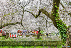 桜の樹の下で(埼玉県幸手市権現堂公園)(26)「華雅」