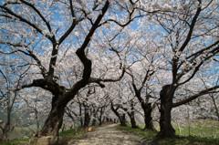 夕月城の桜坂