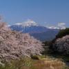 桜並木と残雪