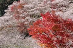 小原村 川見四季桜の里