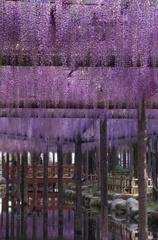 【速報】 天王川公園 藤の開花情報