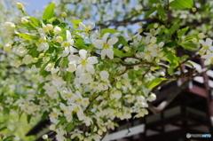 小梨の花【上高地】