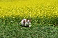 愛犬と菜の花畑(^-^)