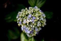 午後の紫陽花