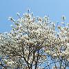 あの日はモクレンが咲いていた。