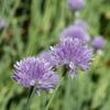 エゾネギの花