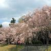 賀茂川から半木の道を見る