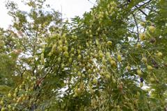 エンジュの木の実