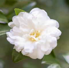 白い山茶花(さざんか)
