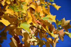 ユリノキの紅葉