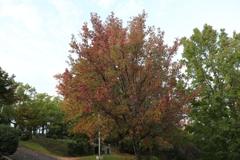 峰山公園の紅葉