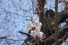 昨年の春の桜です。