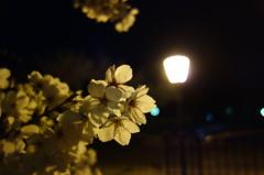 公園の夜桜。