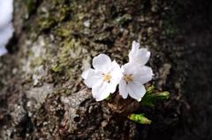 直咲きの桜