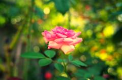 近所の美容室の薔薇・秋⑥