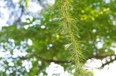 新緑のヒマラヤ杉