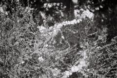 大仙公園のユキヤナギ