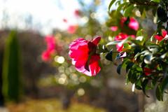 さざんか山茶花咲いた道。