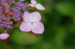 三室戸寺の紫陽花・ピンク&グリーン