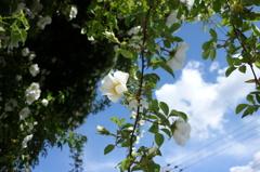 民家の壁一面の白い花。