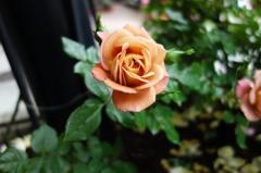 美容室前のミニ薔薇園