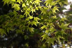 室生寺の新緑