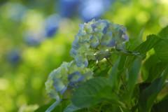 紫陽花の季節③