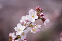 今年の桜は出足が速い!
