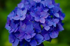 三室戸寺の紫陽花・真っ青!