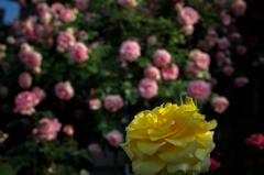 街の薔薇⑩