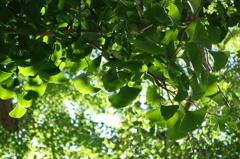 新緑の銀杏の木
