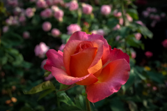 街の薔薇⑧