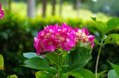 三室戸寺の紫陽花・赤