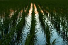 松原の夕焼け近景